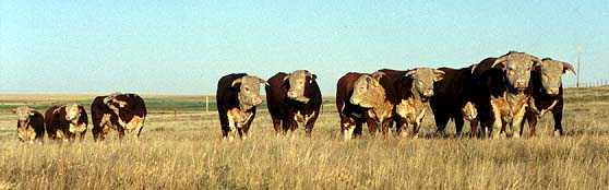 Bulls taken Fall 1999 (16286 bytes)