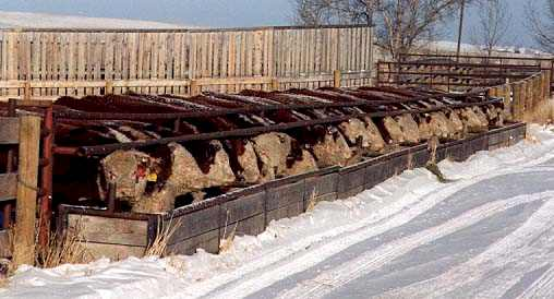 Silage Bunk with bulls(26482 bytes)